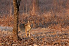 Coyote Sunrise Staredown. On a winter day a coyote stares down an intruder in its vision. Ears up, eyes opened wide, the coyote is not intimidated stock photo