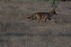 Coyote sur le mouvement photo stock