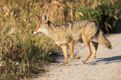 Coyote taking a morning Stroll. Coyote trotting across the trail in morning light Stock Images