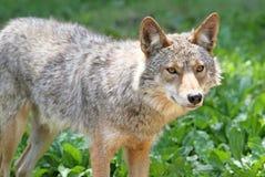 Coyote tijdens de zomer Royalty-vrije Stock Fotografie