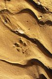 Coyote Track Royalty Free Stock Photos