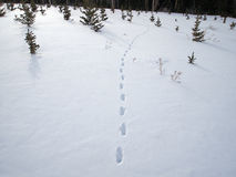 Coyote Tracks Royalty Free Stock Image