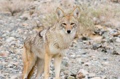 Coyote in trhewoestijn. Stock Fotografie