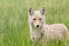The Coyote Trickster. Portrait of a coyote in a meadow of grass in Yellowstone National Park, Wyoming stock photos