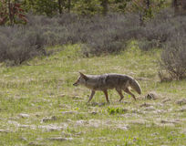 Coyote Trotting Royalty Free Stock Photos