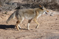 A coyote trotting by. Royalty Free Stock Photos