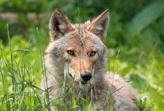 Coyote in un campo Immagini Stock Libere da Diritti