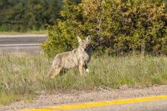 Coyote urbain image libre de droits