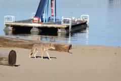 Coyote urbano Vancouver Fotografia Stock