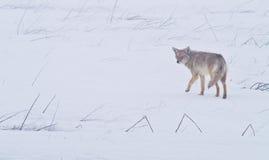 Coyote van Vlaktes 1 van het Westen Royalty-vrije Stock Foto