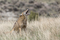 Coyote vocalizing on prairie Stock Photo