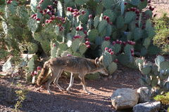 Coyote walking Stock Image