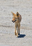 Coyote. Walking in the Death Valley, thirsty, desert of California, United States Stock Image