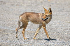 Coyote. Walking in the Death Valley, thirsty, desert of California, United States Stock Photos