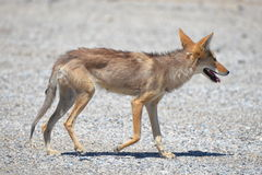 Coyote. Walking in the Death Valley, thirsty, desert of California, United States Royalty Free Stock Image
