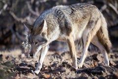 Coyote. Walking through desert bushes Stock Images