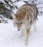 Coyote walking forward royalty free stock image