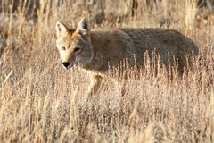 Coyote walking in grass Stock Images