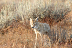 Coyote walking in grass Stock Photo
