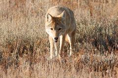 Coyote walking in grass Stock Photos