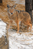 Coyote Walking in the Snow Royalty Free Stock Photos