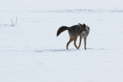 Coyote walking on the snow. California, Tulelake, Lower Klamath National Wildlife Refuge, Taken 01.17 Stock Photos