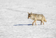 Coyote walking in snow, nursing mother Royalty Free Stock Photo
