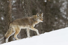 Coyote walking in the snow. Coyote walking in the winter snow Stock Photography