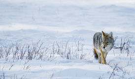 Coyote walking in the snow Royalty Free Stock Photo