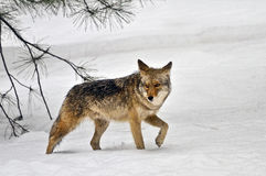 Coyote walking in snow, Yosemite National Park Royalty Free Stock Photos