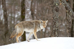 Coyote walking in winter. Snow Royalty Free Stock Images