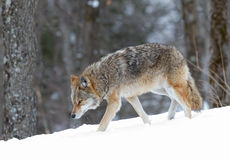 Coyote walking in winter snow. Coyote walking in the winter snow Stock Photo