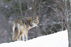 Coyote walking in winter snow Stock Image