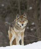 Coyote walking in winter snow Royalty Free Stock Images