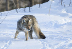 Coyote walking in winter snow Royalty Free Stock Photography