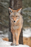 Coyote Walks in the Snow Stock Photos