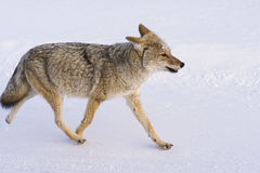 Coyote Walks in Snow Royalty Free Stock Photos