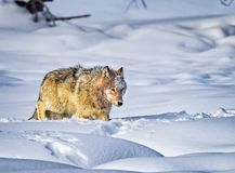 Free Coyote Walks Through Deep Snow In Yellowstone Royalty Free Stock Images - 131951499