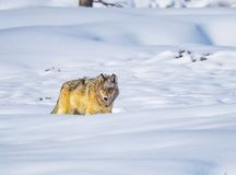 Free Coyote Walks Through Deep Snow In Yellowstone In Winter Stock Images - 141047194