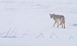 Coyote of the West Plains 1. A coyote walks on the frozen, snowy fields of the West Plains outside of Spokane Washington Royalty Free Stock Photo