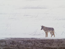 Coyote of the West Plains 2. A coyote walks on the frozen, snowy fields of the West Plains outside of Spokane Washington Stock Photography
