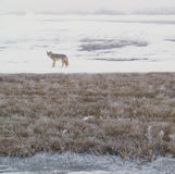 Coyote of the West Plains 3. A coyote walks on the frozen, snowy fields of the West Plains outside of Spokane Washington Royalty Free Stock Image
