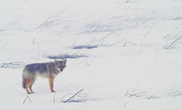 Coyote of the West Plains 4. A coyote walks on the frozen, snowy fields of the West Plains outside of Spokane Washington Stock Photography