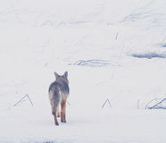 Coyote of the West Plains 5. A coyote walks on the frozen, snowy fields of the West Plains outside of Spokane Washington Royalty Free Stock Image