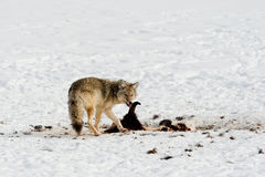 Coyote in Winter Royalty Free Stock Photos