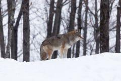 Coyote in a winter scene. Caribou in a winter scene somewhere Stock Image