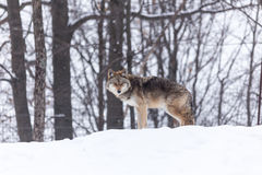 Coyote in a winter scene Royalty Free Stock Image
