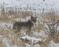 Coyote in the winter snow. Coyote on the lower tall grass prairie Royalty Free Stock Photo