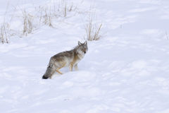 Coyote in winter Stock Photography
