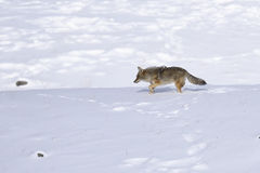 Coyote in winter Stock Photo